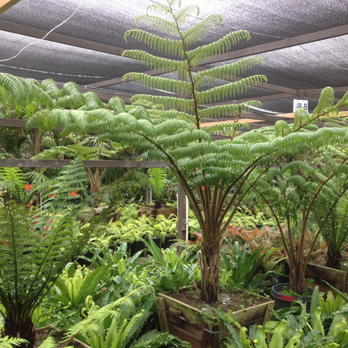 Specimen Tree Ferns