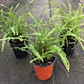 "LEMON BUTTON FERN (NEPHROLEPIS CORDIFOLIA) ""DUFFII"""