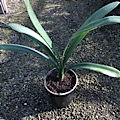 Clivia miniata yellow