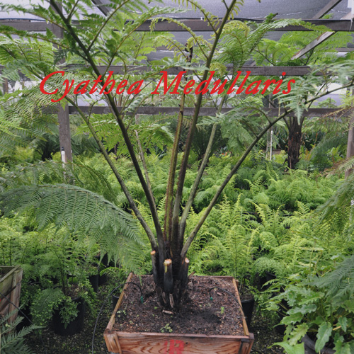 Cyathea Medullaris (Black Tree Fern)