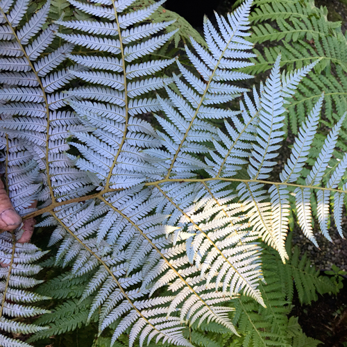 Cyathea dealbata  (silver tree-fern)