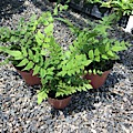 Dwarf Holly Fern (Cyrtomium fortune)