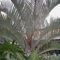 Triangle Palm (Dypsis decaryi)